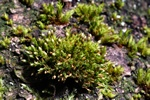 Elegant Bristle-moss (Orthotrichum pulchellum)